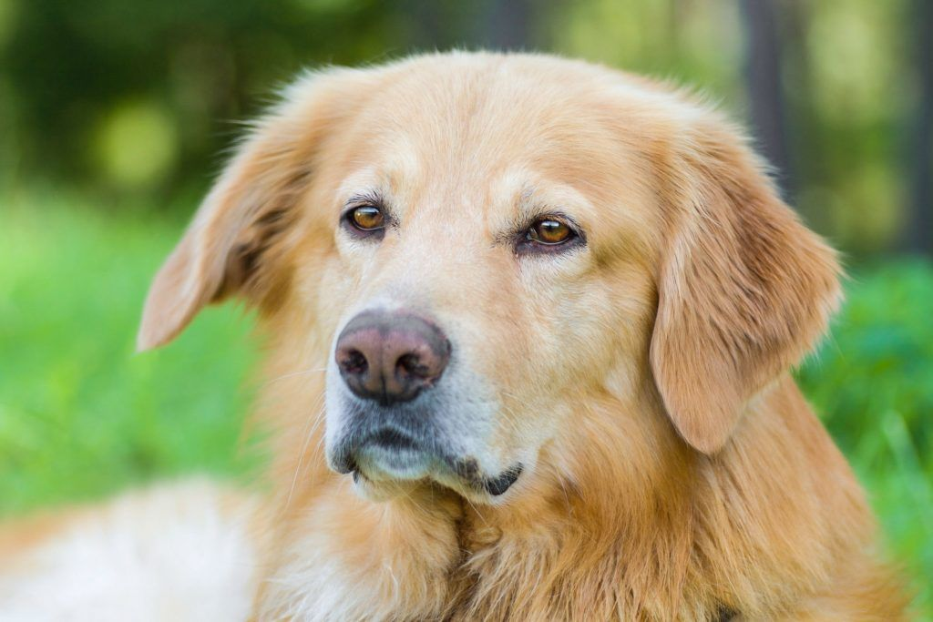 Hovawart Steckbrief Charakter Wesen Haltung Hovawart Hunderassen Hunde Erziehen