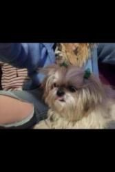 Houdini Is An Adoptable Shih Tzu Dog In Oklahoma City Ok