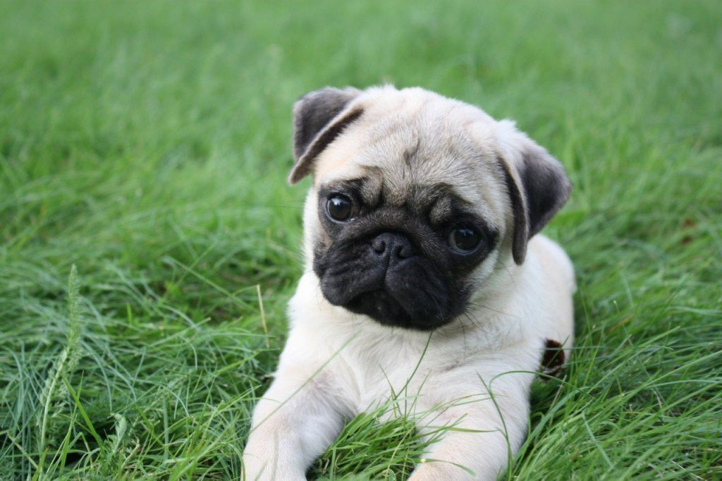 Pug Wallpaper Screensaver Background Cute Pug Puppy With