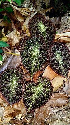 Begonia Thailandica X 30 Seeds Unusual Plants Plants Foliage Plants