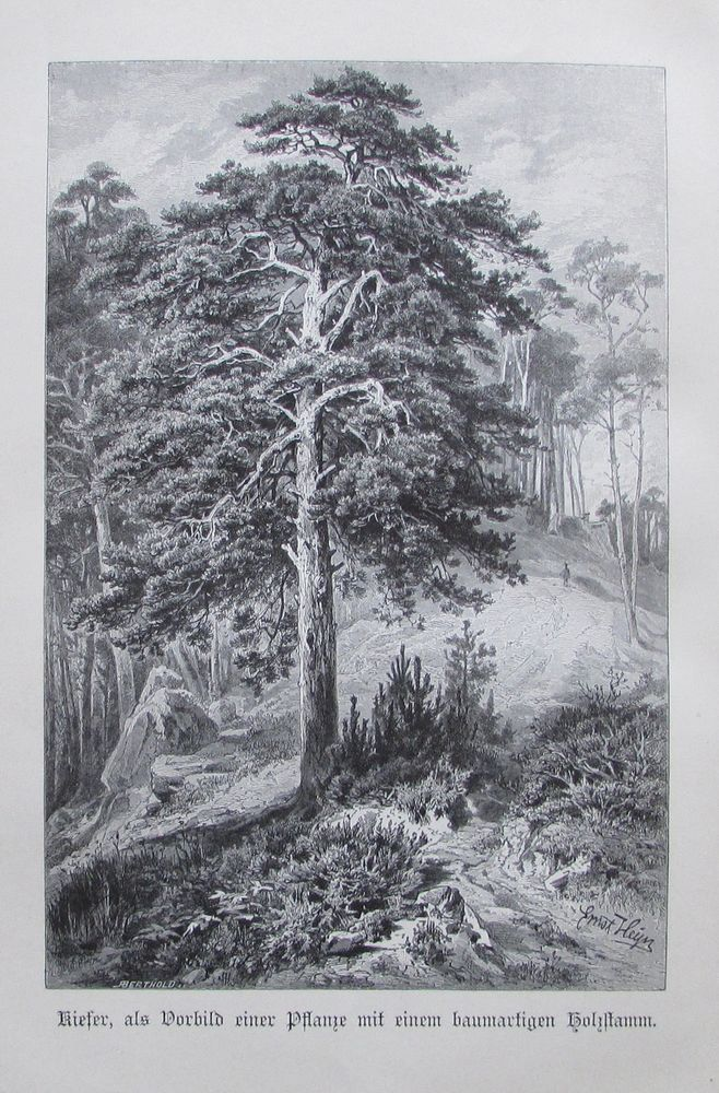 1896 KIEFER alter Druck antique Print Lithographie Baum Bäume