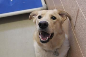 Klouse Golden Retriever Mix Up For Adoption In Watertown Ny