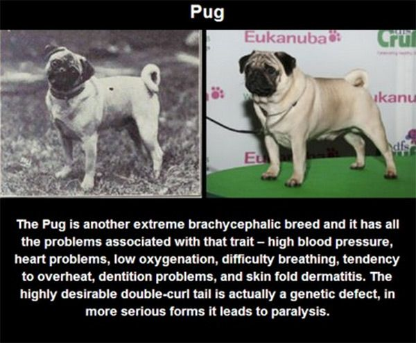 Problem With Breeds Of Today Pure Breed Dogs Purebred Dogs Dogs