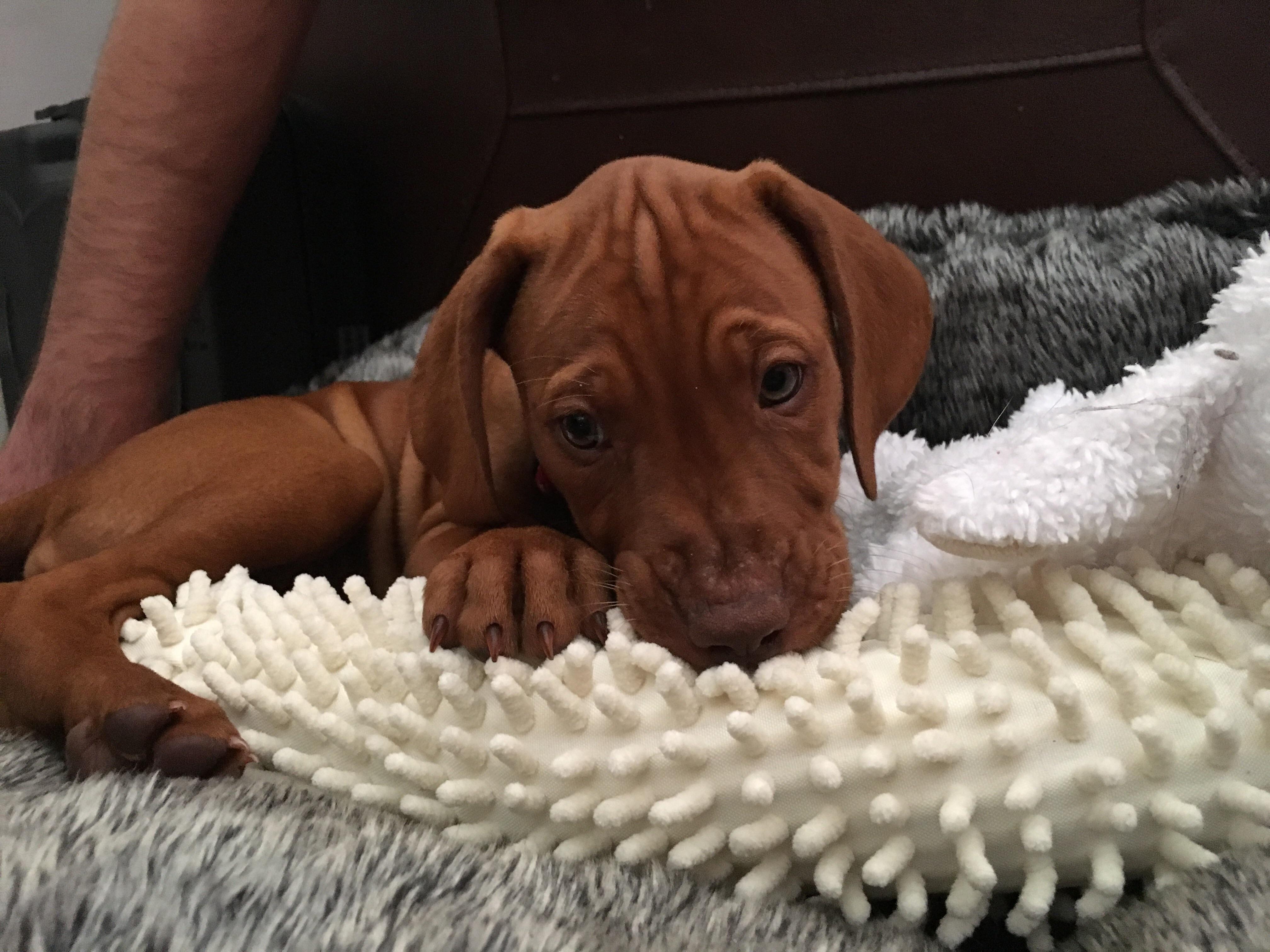 Our new Vizsla puppy! http://ift.tt/2sjTRRP