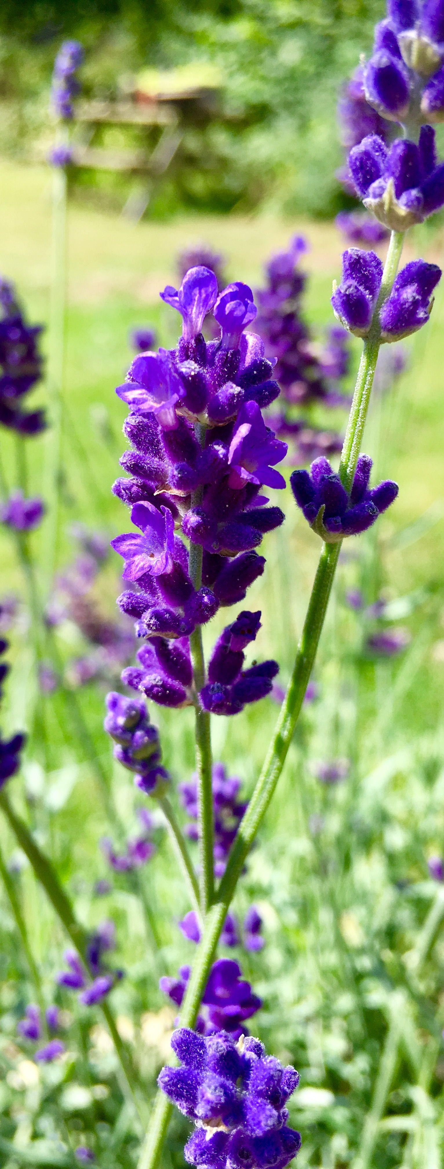 70 Beautiful Purple Flowers Care Growing Tips Pinterest