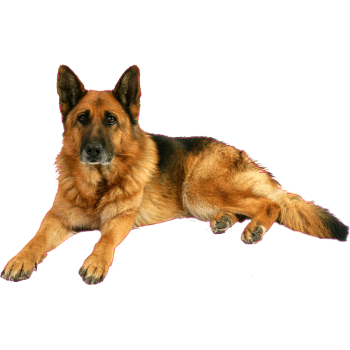 Download German Shepherd Dog Png Images Background Dog Png Full Hd Clipart Is Best Quality And High Resolu German Shepherd Dogs Shepherd Dog German Shepherd
