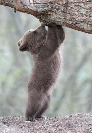 bear cub working out