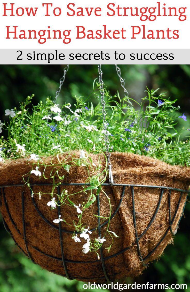How to save struggling hanging baskets 2 simple secrets