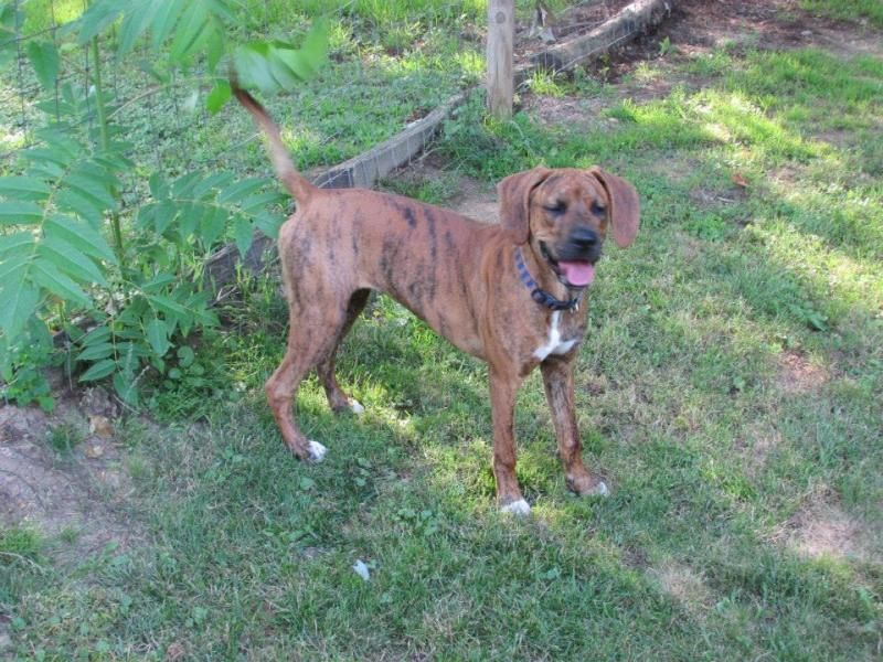 Meeka Boxer Mix • Young • Female • Medium Humane Society of Monroe County Woodsfield, OH