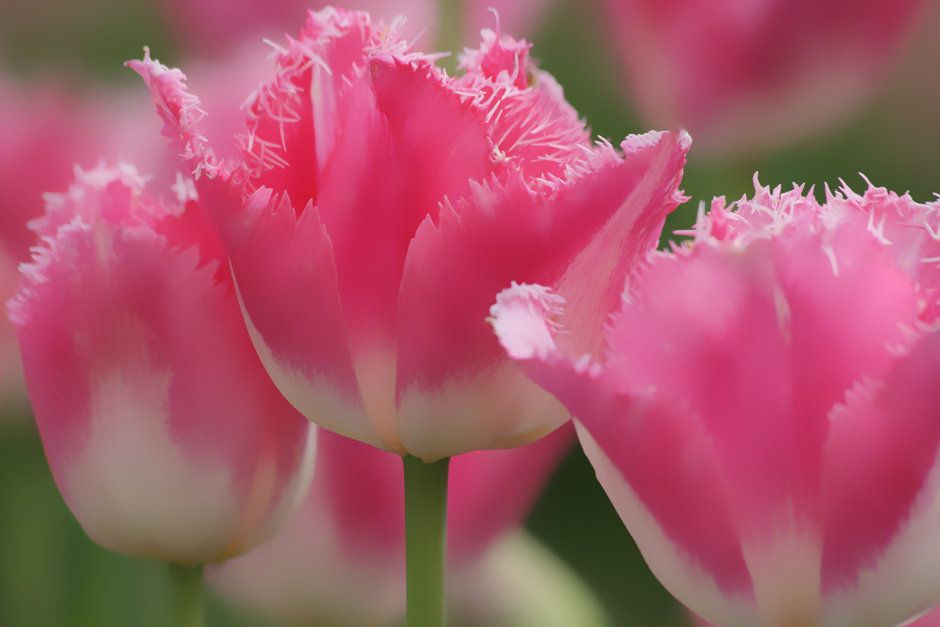 Fringed hybrid tulips boasting their beauty flowers