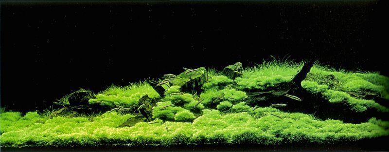 Nature Aquarium Is A Concept Of The Planted Aquarium Introduced By Japanese  Photographer And Aquarist Takashi Amano Founder Of Aqua Design Amano (ADA).