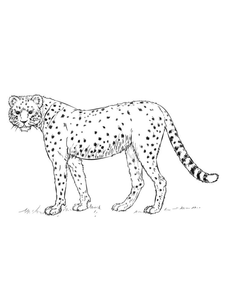 Cheetah Coloring Pages Free Easy Below Is A Collection Of Cheetah Coloring Page Which You Can Download For Free Ha Animal Coloring Pages Coloring Pages Color