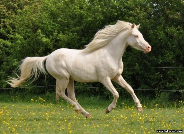 Stunning cremello 12hh three year old filly. Arab x welsh. 60% Arabian