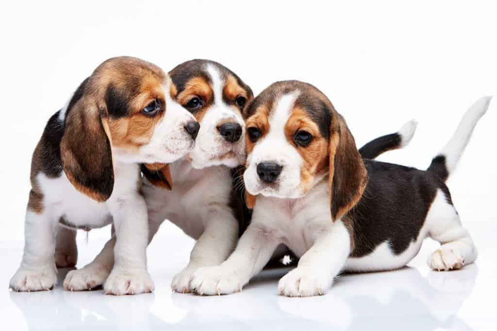 Beagles Are A Popular Breed Amongst Owners But Especially In Mini
