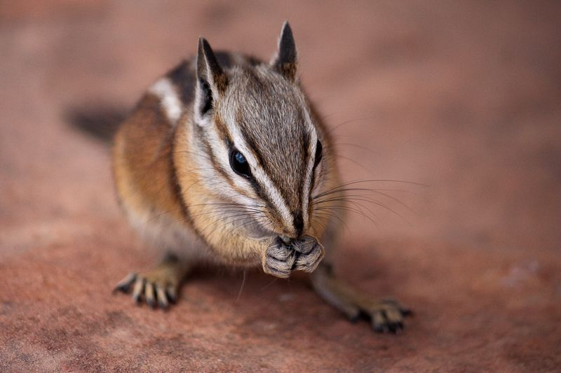 Lost Baby Chipmunk Chipmunks Animals Baby Chipmunk