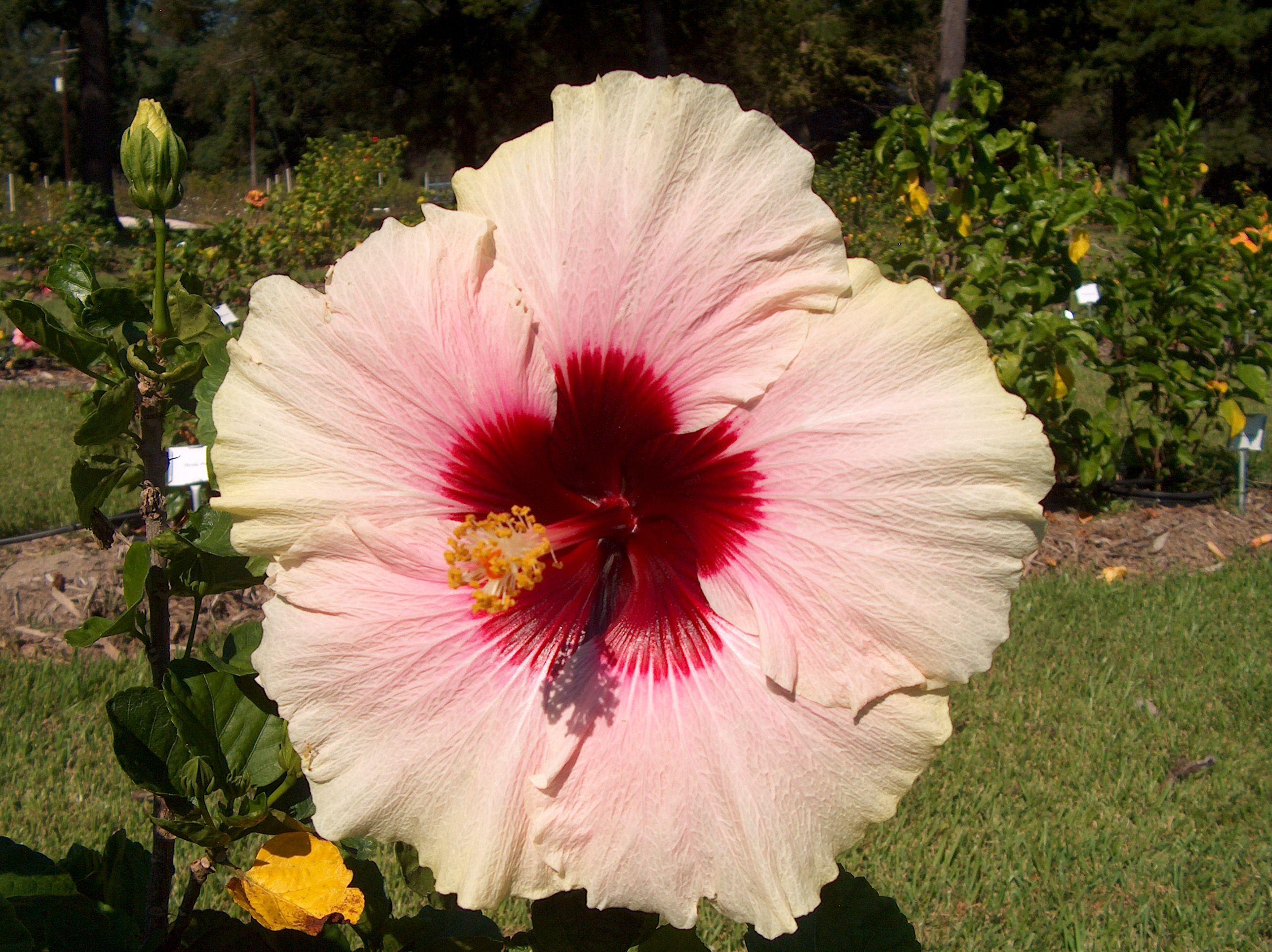 Hibiscus Rosa Sinensis High Voltage Hibiscus Rosa Sinensis Hibiscus Hibiscus Flowers