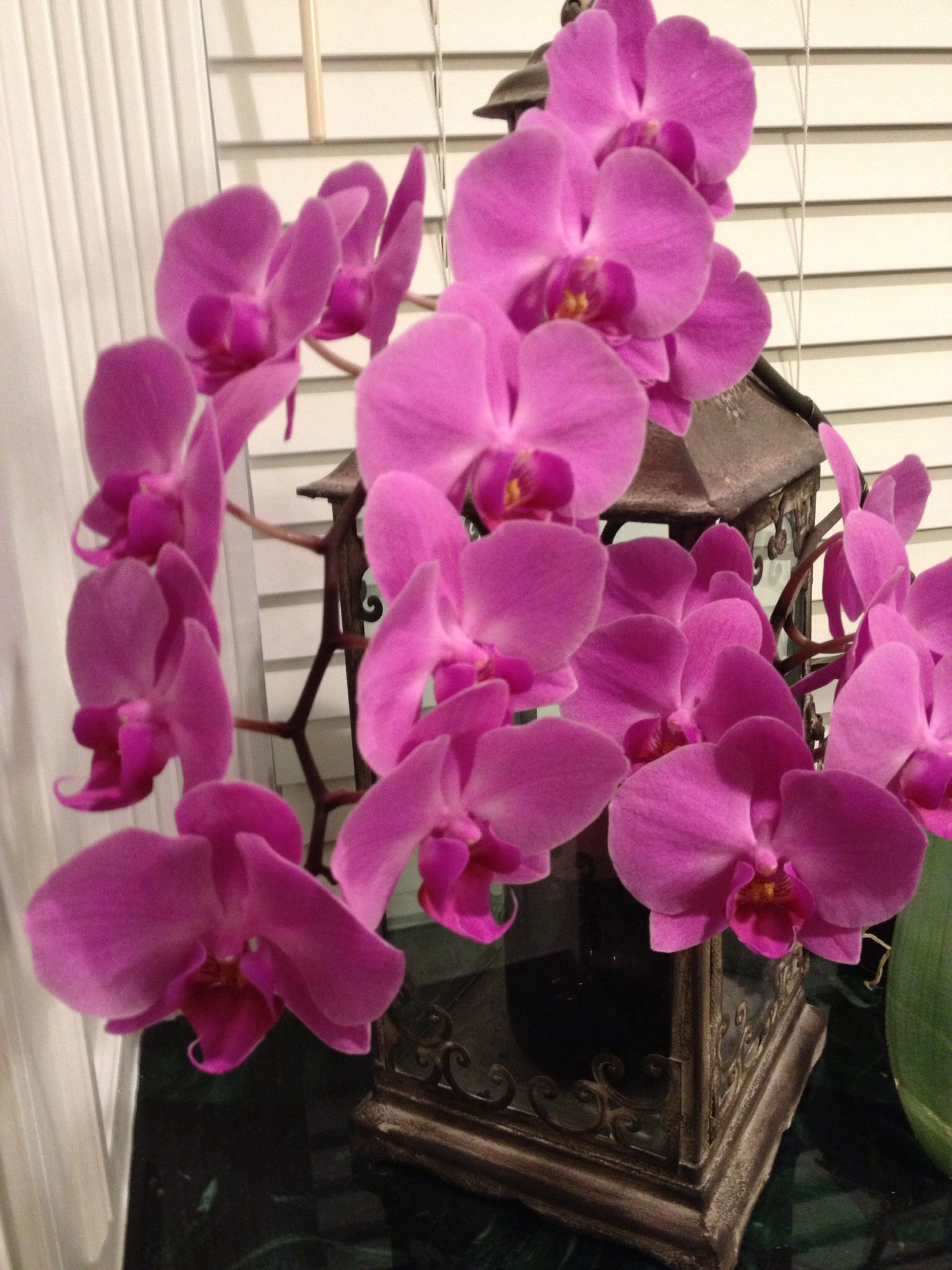 My dear friend gave me this orchid a year ago this is the fourth