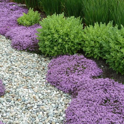 Red Creeping Thyme Flank The Path With Clumps Of Sedum Lavender