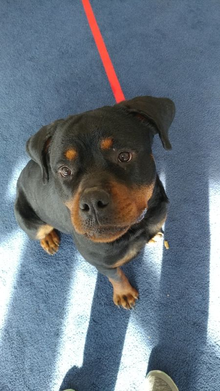 Rottweiler dog for Adoption in Golden Valley, MN. ADN