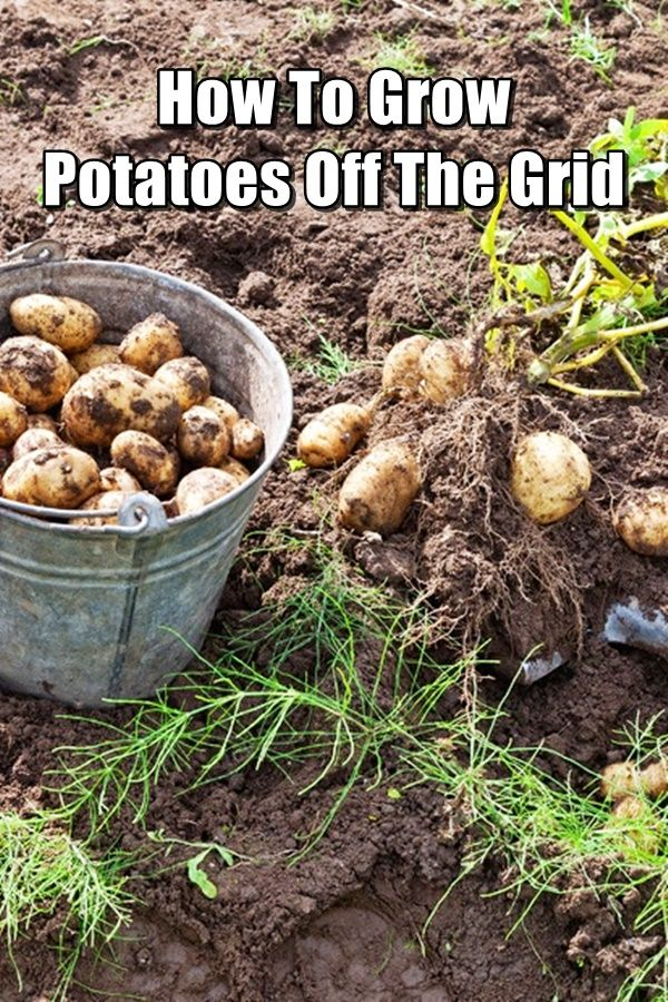 How to Grow Potatoes Off The Grid - If you're a beginner gardener, one of the best things to learn how to grow are potatoes. Due to their simplicity, you'll be able to get some experience under your belt while you master the basics. Back when I first started learning how garden (in fact, I'm still learning today), potatoes were one of the first things that I learned how to grow.