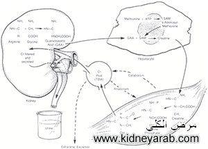 هل يمكن علاج استحمام الجسم بالاعشاب علاج نسبة الكرياتينين 9 Creatinine Levels Muscle Tissue Kidney