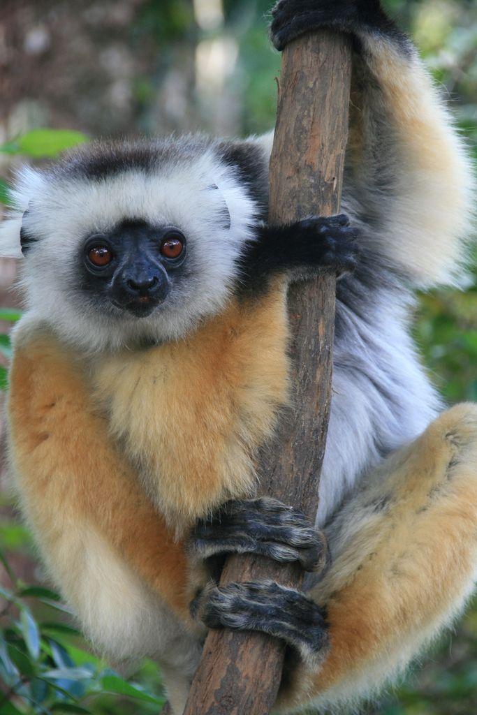 Diademed Sifaka Lemur