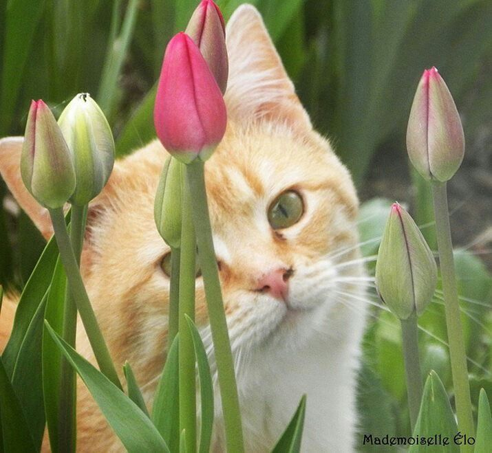 Tiptoe Through The Tulips Green Eyed Cat Cats And Kittens Ginger Cats
