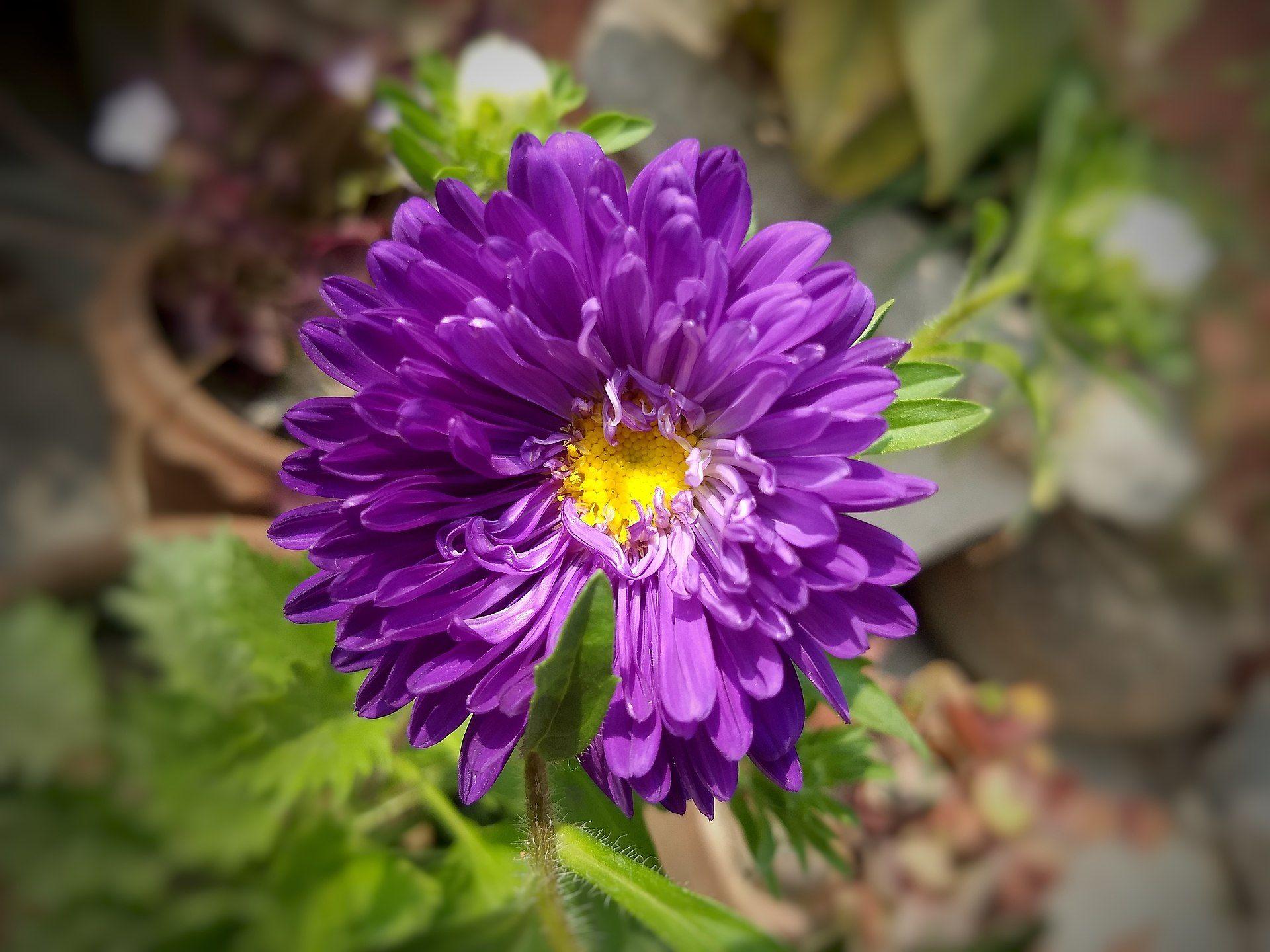 Aster Genus Wikipedia Aster Plants Flowers