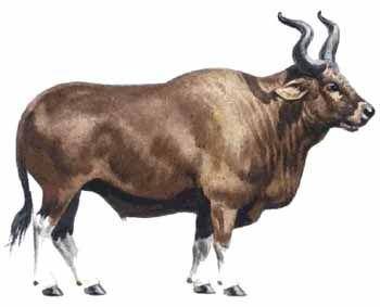 Domestication Of The Aurochs Ancestors Of Domestic Cattle Circa
