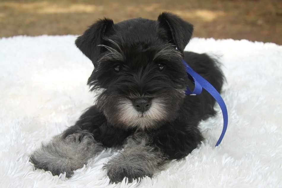 Toy Teacup And Miniature Schnauzer Puppies For Sale Oklahoma Miniature Schnauzer Puppies Miniature Schnauzer Schnauzer Puppy
