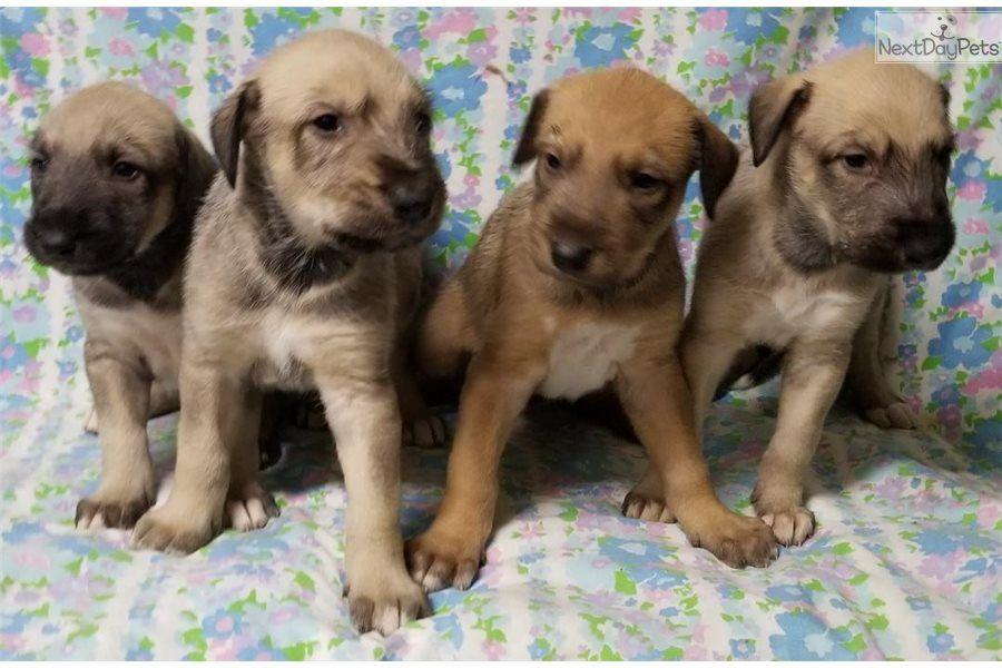Teagan Girls Irish Wolfhound Puppy For Sale Near Fresno Madera California Ac07ac33 08b1 In 2020 Wolfhound Puppies Wolfhound Irish Wolfhound