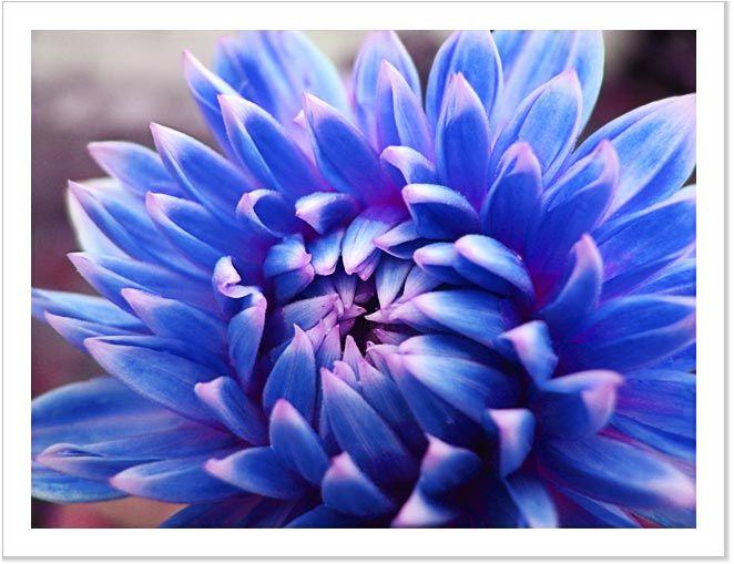 Dahlia Flowers Photo Prints And Canvas