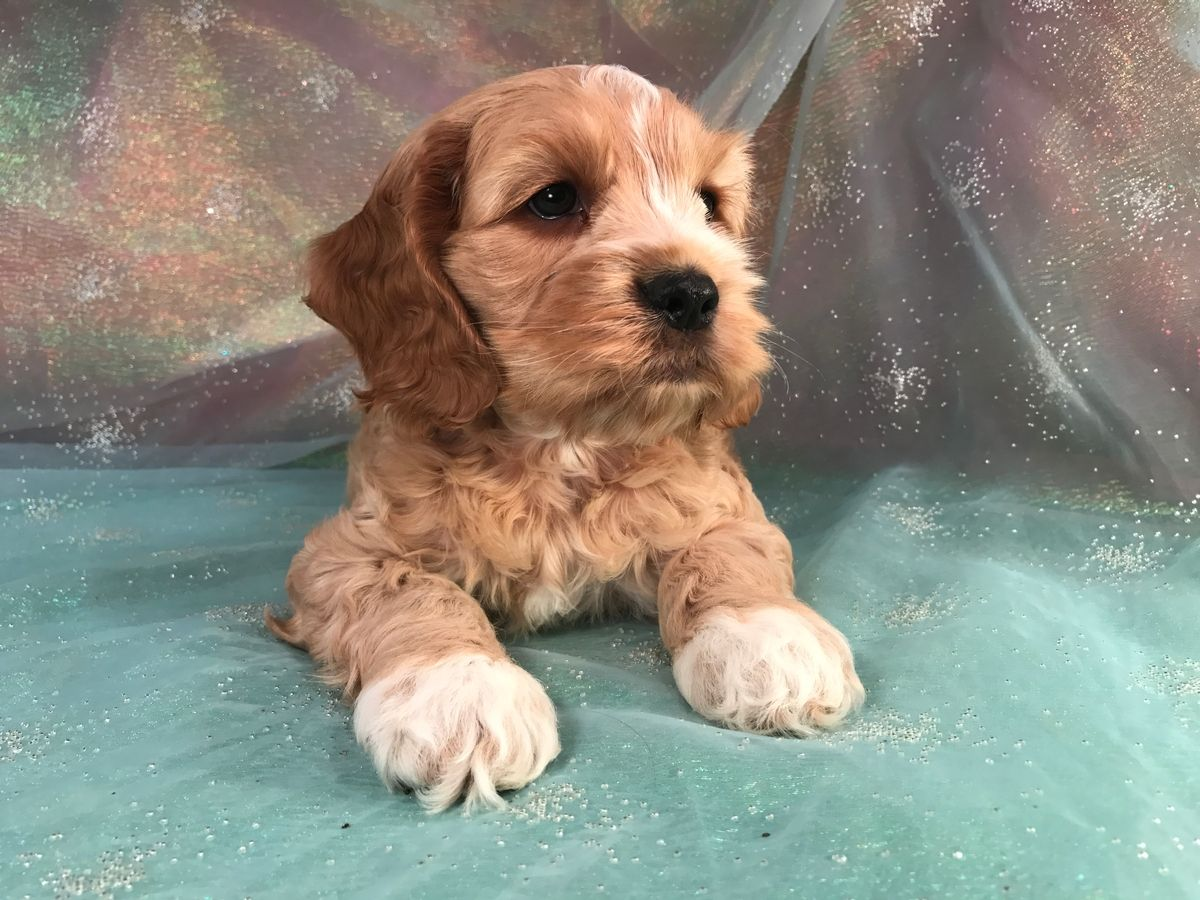 Cockapoo Puppies for Sale Cockapoo Breeder in Iowa