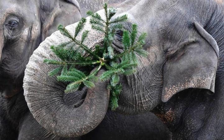Cool An elephant plays with a Christmas tree at the Zoologischer Garten zoo in Berlin