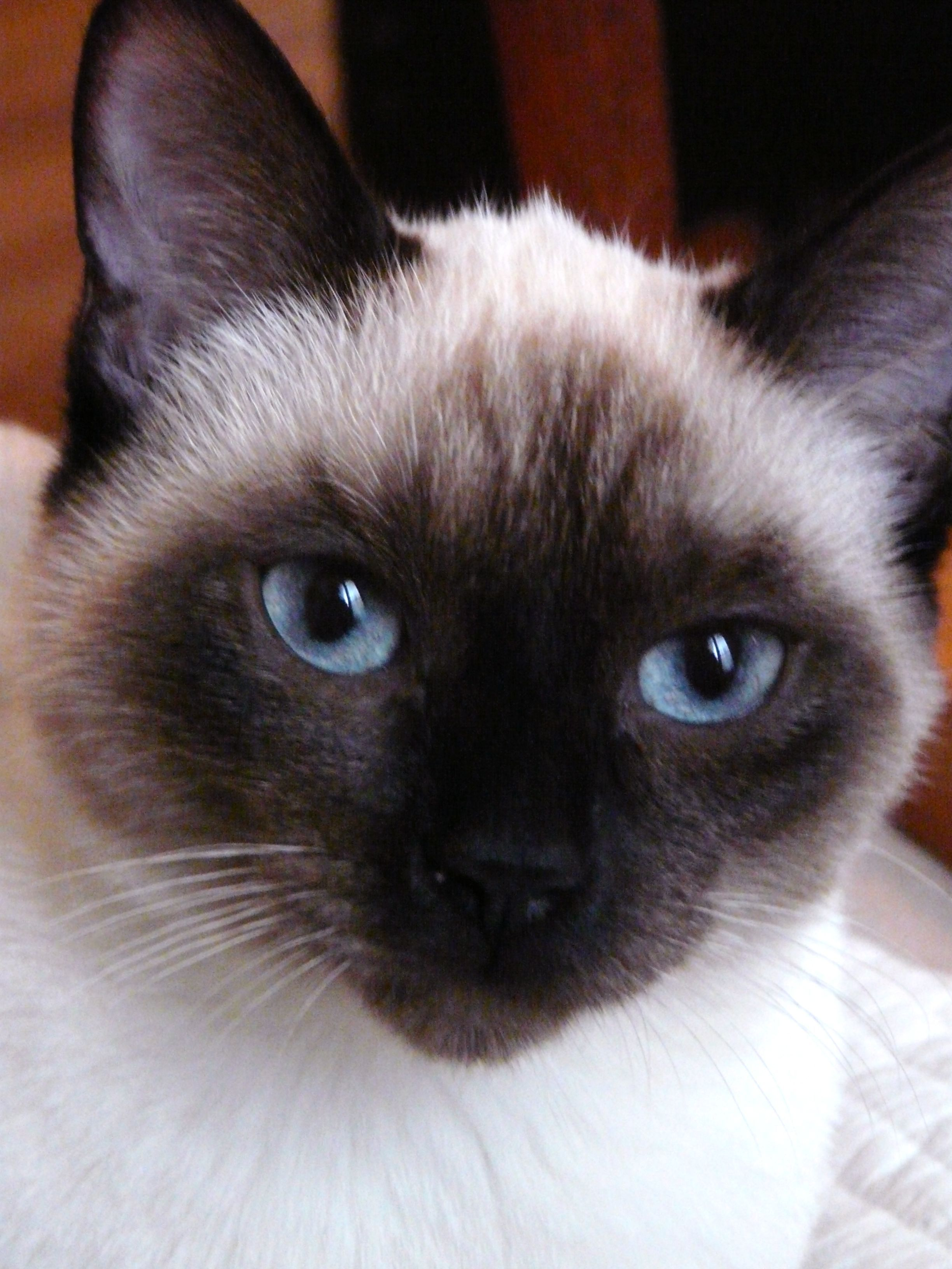 Scarlett What A Beautiful Name For A Beautiful Cat Cats Siamese Cats Gorgeous Cats