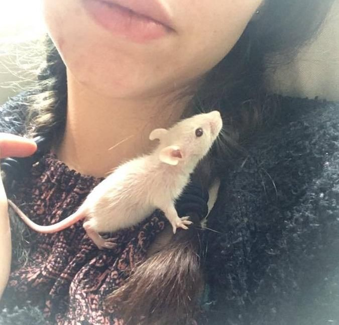 Baby Pic Of Our Resident Runt Tiny Teddy Aww Cute Rat Cuterats