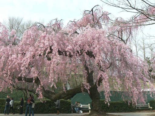 Prunus Kiku Shidare Zakura Tree Cheals Weeping Cherry Trees Ornamental Trees Shade Trees Weeping Cherry Tree