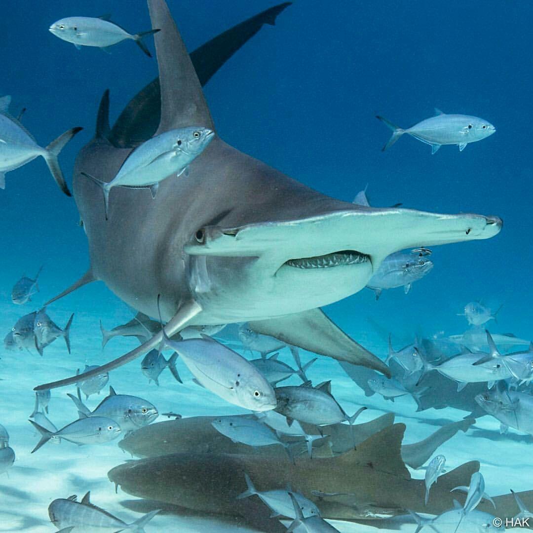 канаде лучше картинки акулы молот увидеть