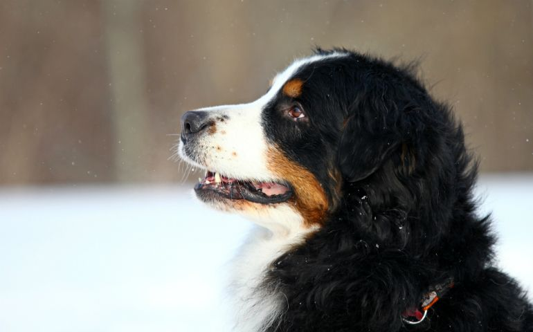 9 Images That Prove The Versatility Of The Bernese Mountain Dog Bernese Mountain Dog Dogs Mountain Dogs
