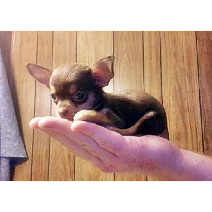 Pin By Penny Karn On Oh Sooo Cute Animals Chihuahua Puppies