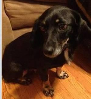 Marin Is A Female Doxie Mix In Beckley Wv Dream Dachshund Rescue
