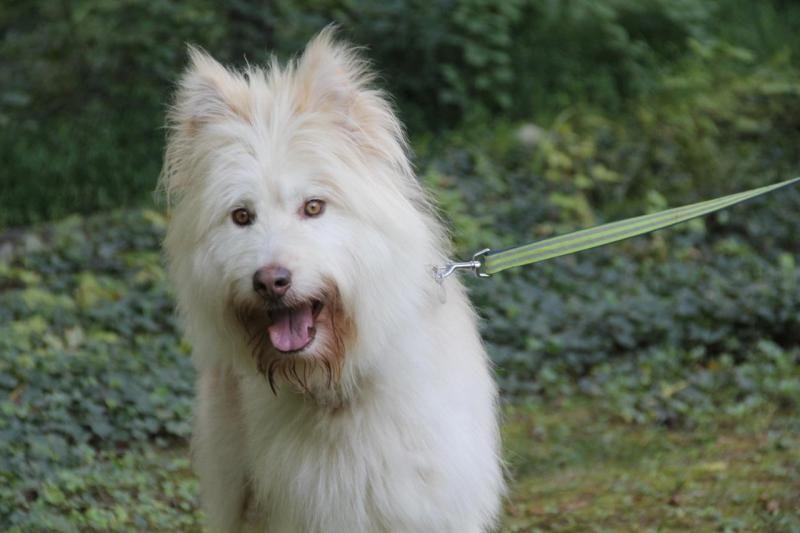 Adopt hilton on big fluffy dogs big fluffy dog rescue