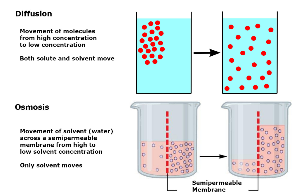 Osmosis Vs Diffusion Definition And Examples Osmosis Science Cells Osmosis Experiment