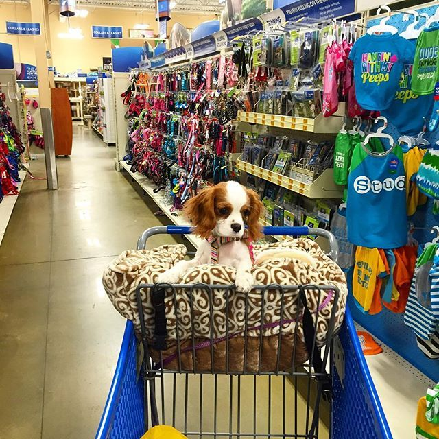 Saturday Night Shopping Petsmart I M Growing Up So Fast That I Grew Out Of My Jacket Alread Cavalier King Charles Spaniel Cavalier King Charles King Charles