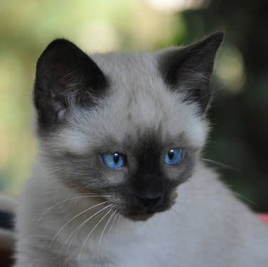 Unfortunately Selective Breeding Has Resulted In Cats With Sight Problems In Siamese Always Research Your Breeder Th Siamese Kittens Kittens Cats And Kittens