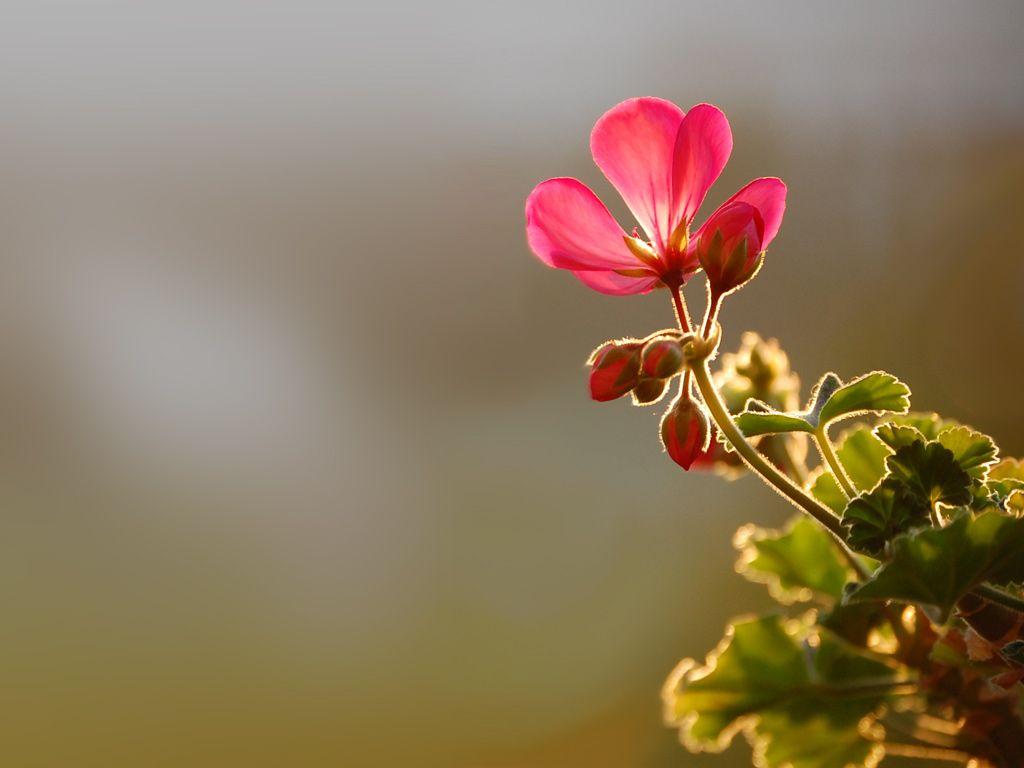 beautiful flowers wallpapers for desktop | free download #beautiful
