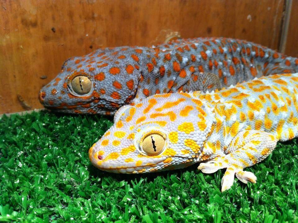 Tokay Gecko. Animals beautiful, Cute gecko