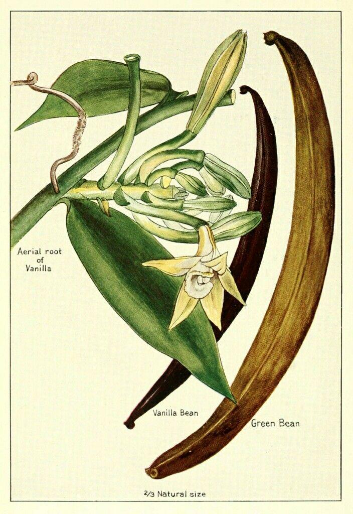 Https Upload Wikimedia Org Wikipedia Commons Thumb 0 08 Vanilla Root Bean Flower Png 704px Vanilla Root Botanical Illustration Vanilla Plant Botanical Prints