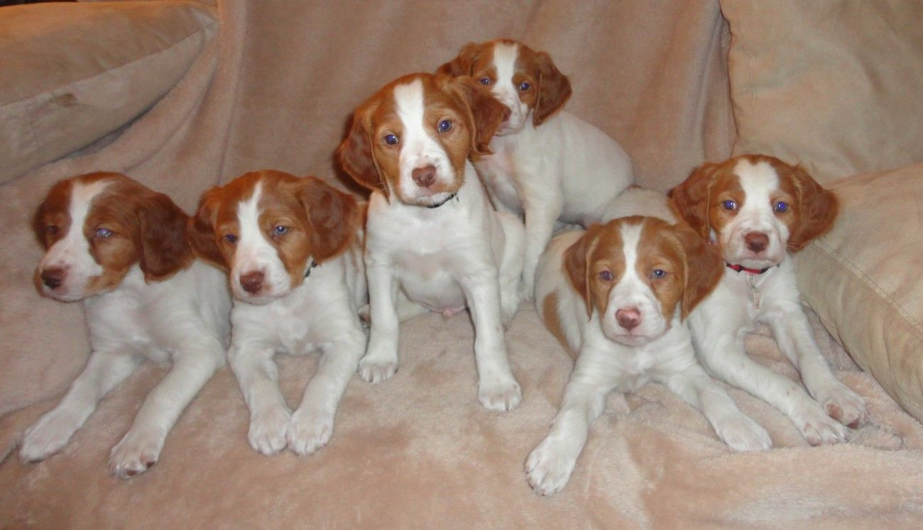 Cute American Brittany Puppies Brittany Puppies Brittany Dog American Brittany
