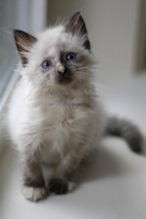 Meet Adora The Siamese Snowshoe Persian Mix Kitten Super